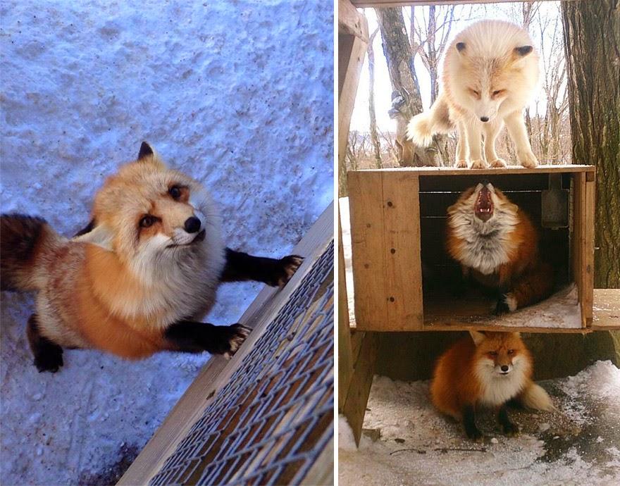 zao fox village japan adorable photos-6