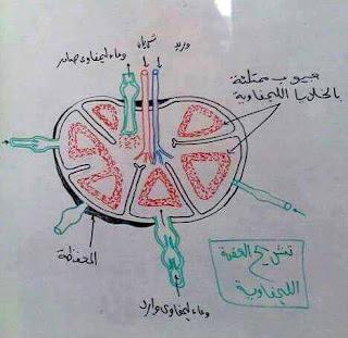 """رسم توضيحي جميل لكل من """"تركيب العضلة الهيكلية - مراحل نضج المتك - تشريح العقدة الليمفاوية"""" 003"""