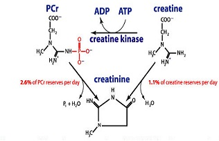 Creatine build Muscle and Burn Fat