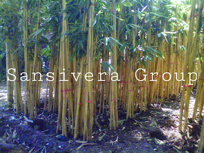 Jual Pohon Bambu Panda Pagar