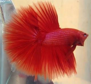 Ikan Cupang Indah