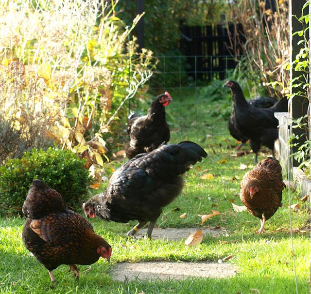 Australorps hane til salg