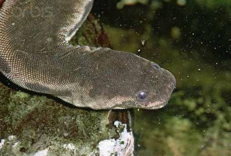 งูงวงช้าง (Elephant Trunk Snake)
