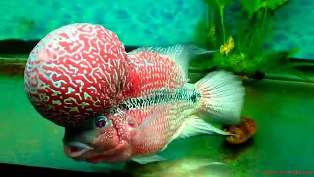 Gambar Ikan Luohan Juara Kontes Tahun 2015
