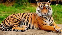 Tiger pictures_Panthera tigris