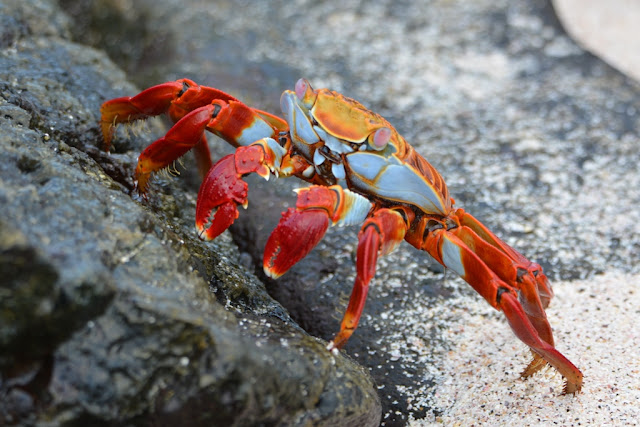 Sally Lightfoot crab Galapagos