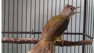 Suara masteran buat burung lovebird