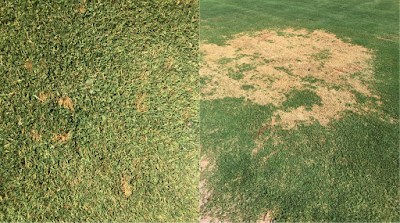 A composite photo of turfgrass with brown dead areas caused by the fungus, Bipolaris. The photo on the left shows small brown areas when the disease was in the early stages and the photo on the right shows the same turfgrass area 10 days later with a very large brown area.