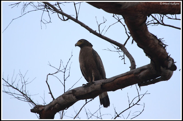 Serpent eagle at Zhari (TATR)