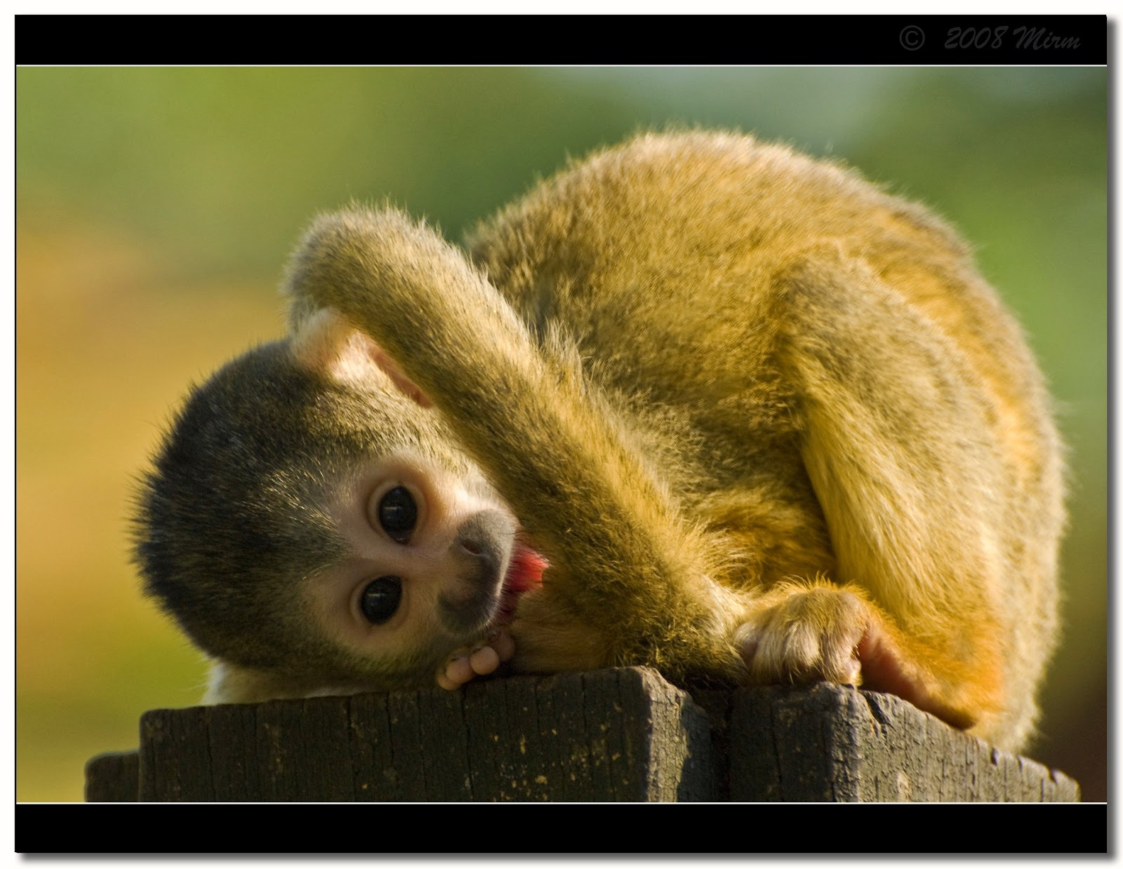 Cute squirrel monkey by **Mirm** from flickr (CC-NC-SA)