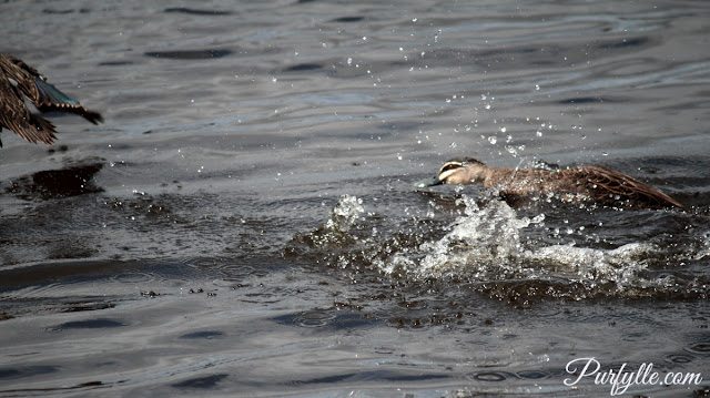Chasing off a rival black duck