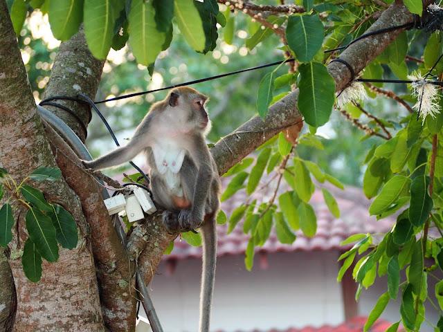 Affen Pangkor