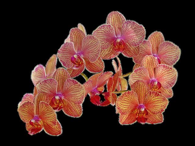 hoa lan hồ điệp 1