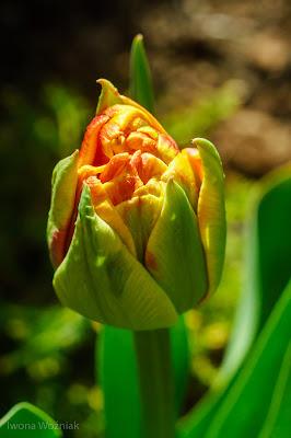 tulipan kwiecień