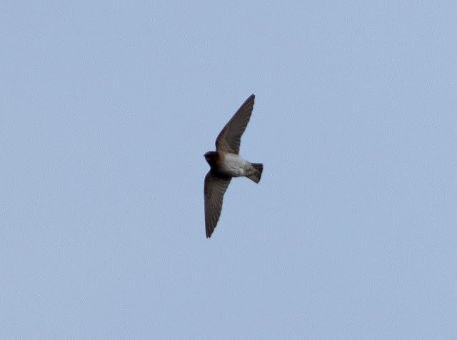 Cliff Swallow - Minsmere, Suffolk