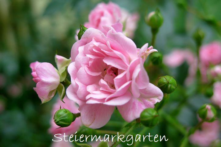 Rosenblüten-Steiermarkgarten