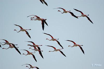 Flamencs (Phoenicopterus roseus)