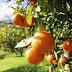 Conmoción en Mburucuyá: niña de 12 años falleció al comer una mandarina envenenada