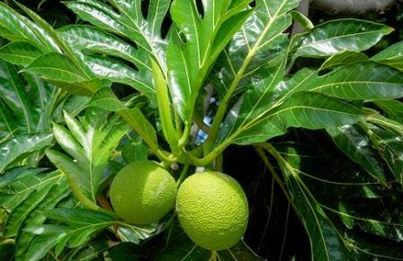 Dalam bahasa latin disebut dgn Urticaceae Manfaat Daun Sukun bagi Kesehatan