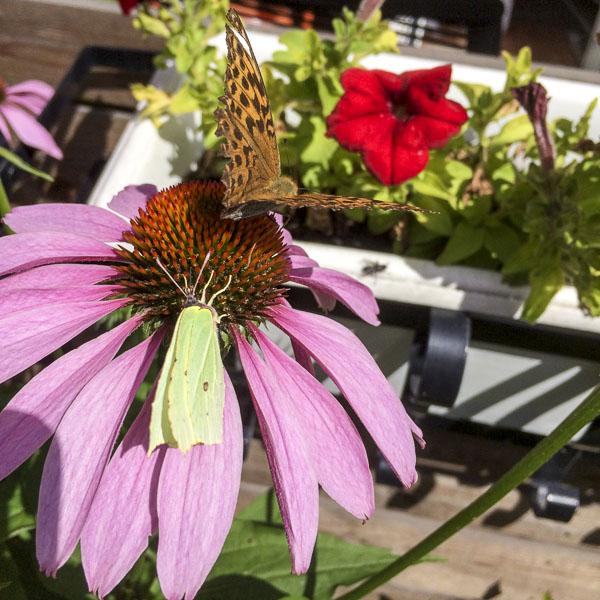 rudbeckia, echinacea