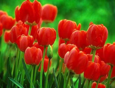 Bunga Tulip Warna Merah
