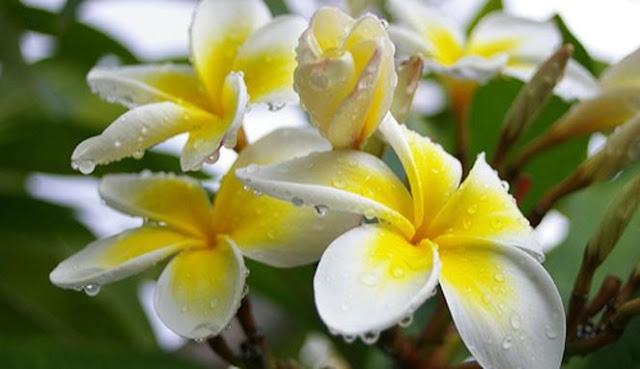 Bunga Kamboja Yang Sudah Naik Pamornya