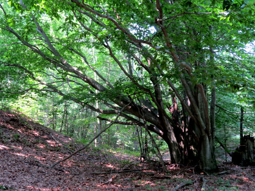 many trunked beech tree