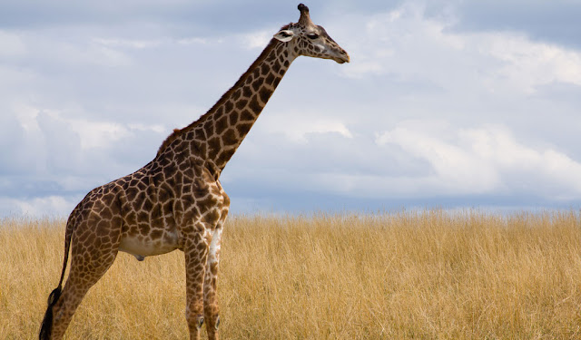 Artiodactyla Giraffe