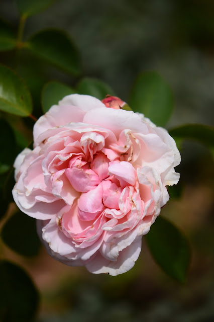 St. Swithun Rose, David Austin rose