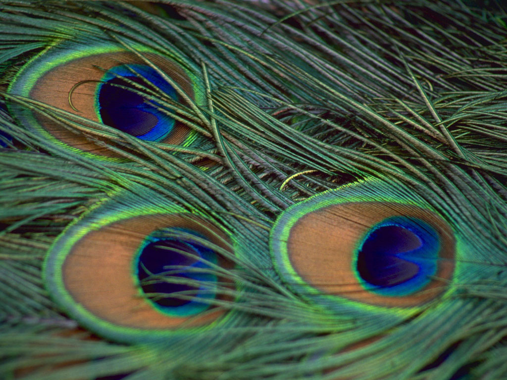 download peacock feather wallpapers - photo #7