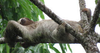Bradypus variegatus, Brown-throated Three-toed Sloth