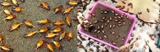 Cara Cepat Menetaskan Telur Jangkrik dengan Pasir dan Kain