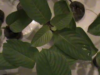 Best live kratom plants