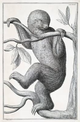 two-toed sloth, Albertus Seba, 18th Century