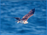 Osprey Pictures Pandon haliaetus