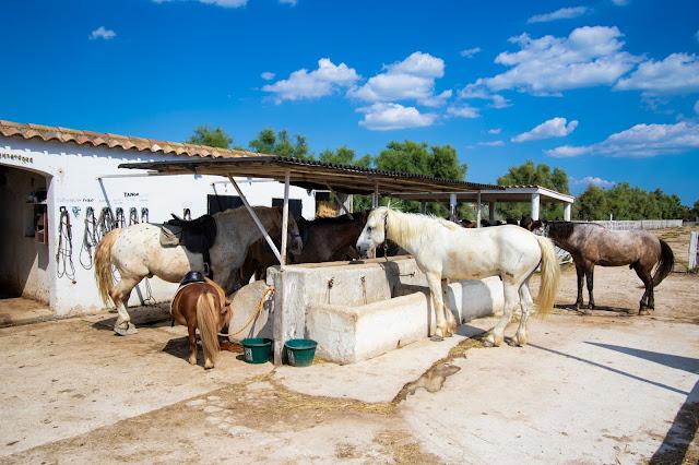 Camargue-cavalli bianchi