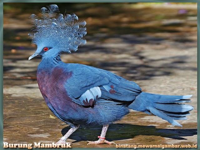 gambar burung mambruk
