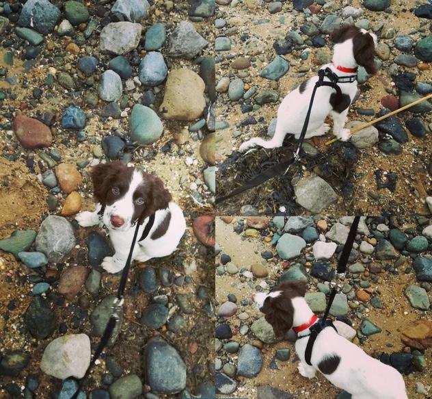 spaniel puppy on the beach