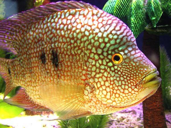 Mengenal Ikan Texas Cichlid ~ Dunia Air