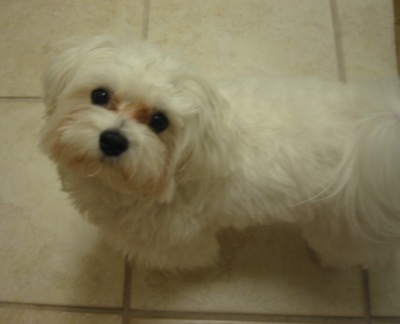 Cute Dogs: Maltese Dogs