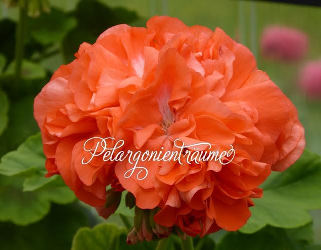 orange-Pelargonienblüten-Geranien-lachsfarbene