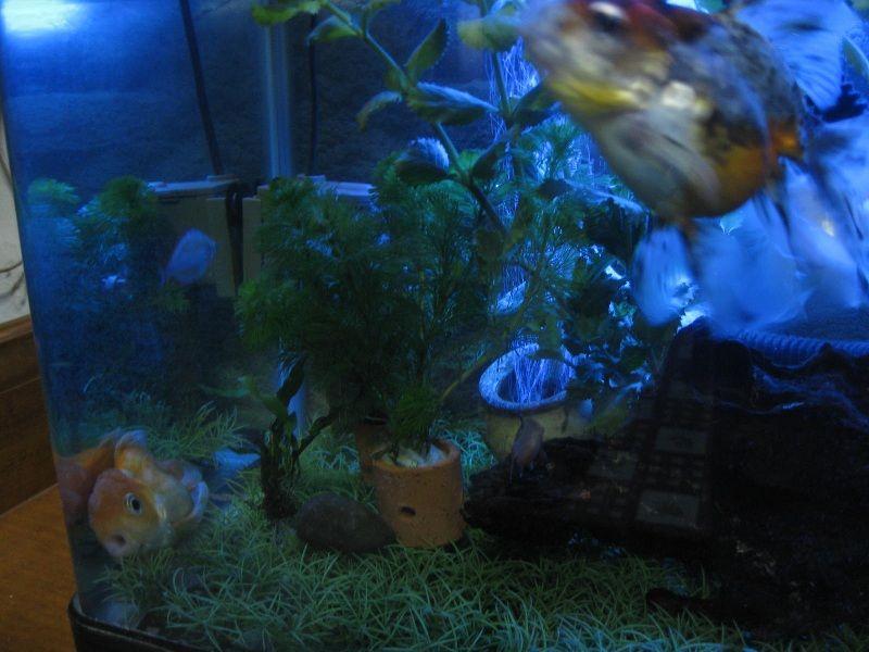 Gambar Penyakit Ikan Mas Koki Berenang Terbalik