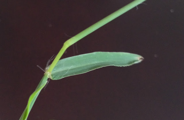 Figure 18. White hair seen at ligules along the stem of Bermudagrass (own photo)