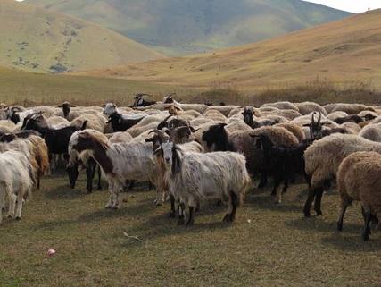 D'anciens génomes de chèvres révèlent plusieurs sources de population au cours de la domestication