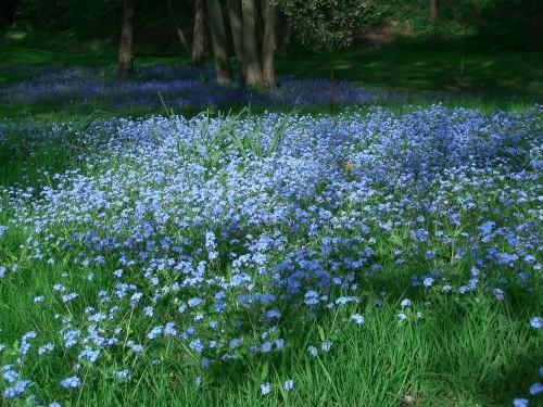 Tại VN có rất nhiều cánh đồng trồng hoa lưu ly