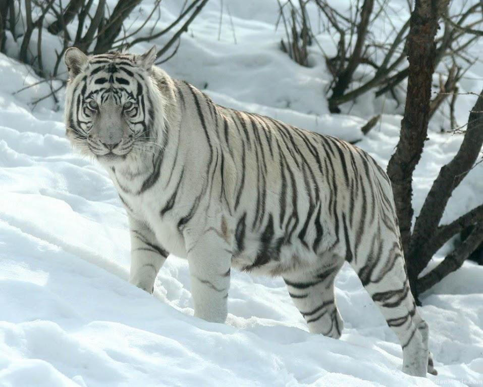 Fondo De Pantalla De Leopardo Fondos De Pantalla Gratis: Fondos De Escritorio De Leones, Leopardos Y Tigres