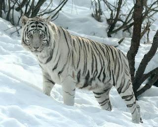 Tigre Blanco en la nieve