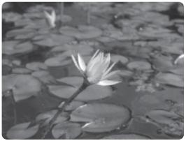Ciri-Ciri Khusus Tumbuhan : Teratai, Raflesia, Kantong Semar, Venus, Tumbuhan Gurun