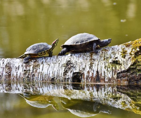 https://www.bioorbis.org/2018/09/diferenca-tartaruga-cagado-jabuti.html