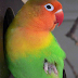 3 penyebab utama lovebird nyilet
